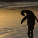 Manchot Royal