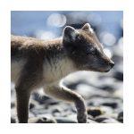 renard polaire, vulpus lagopus, islande,