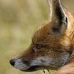 Renard roux ou renard commun en Italie dans le parc national du Grand Paradis