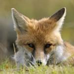 Portrait de renard roux ou renard commun en Italie dans le parc national du Grand Paradis