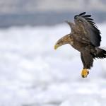 Pygargue à queue blance en vol au dessus de la banquise Japon