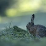 Lièvre, lepus, hare, France, Jura