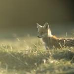 Renard, fox, France, Jura